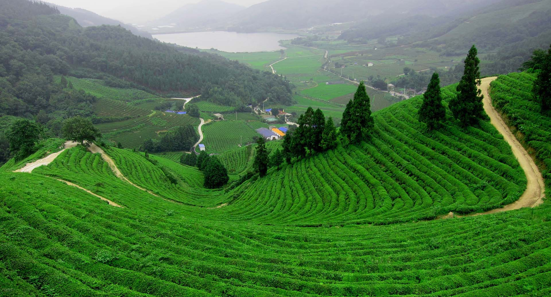 boseong-green-tea-field-20101